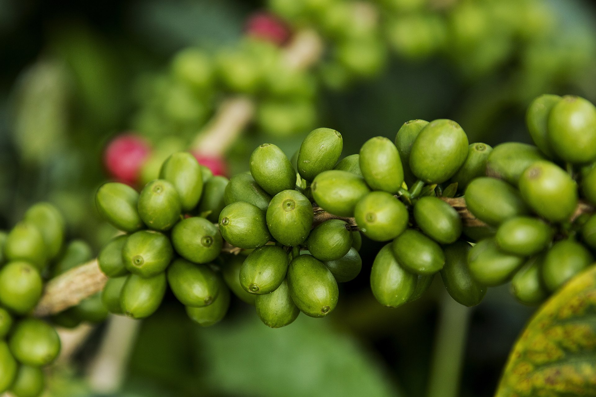 Raw coffee from Colombian Exotic Coffee