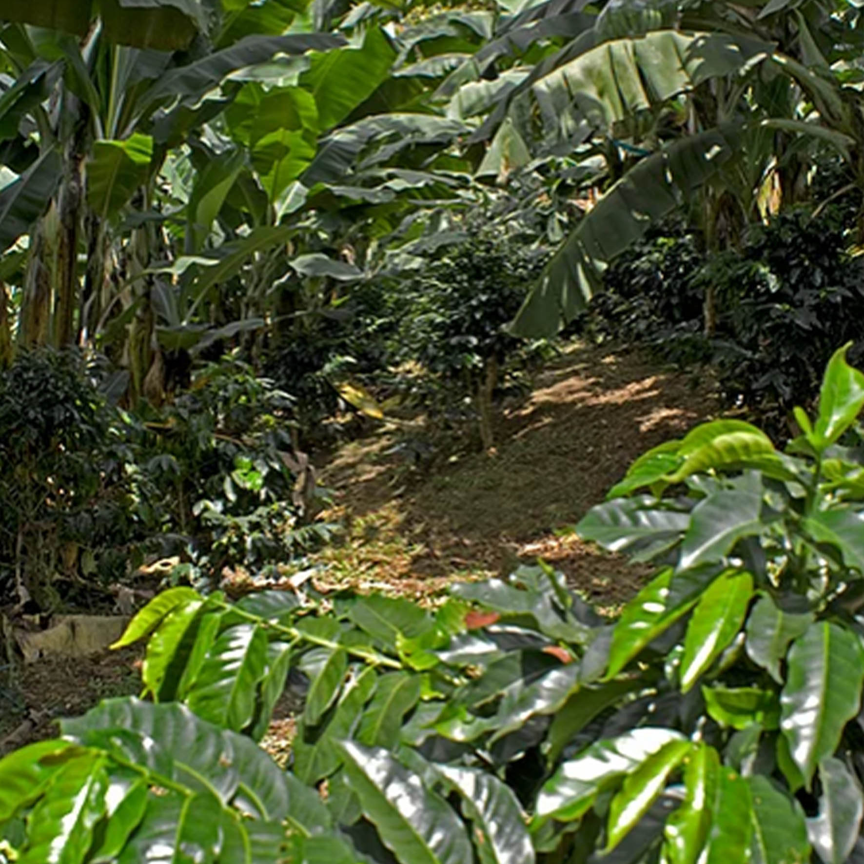 Colombian Exotic Coffee farm_4