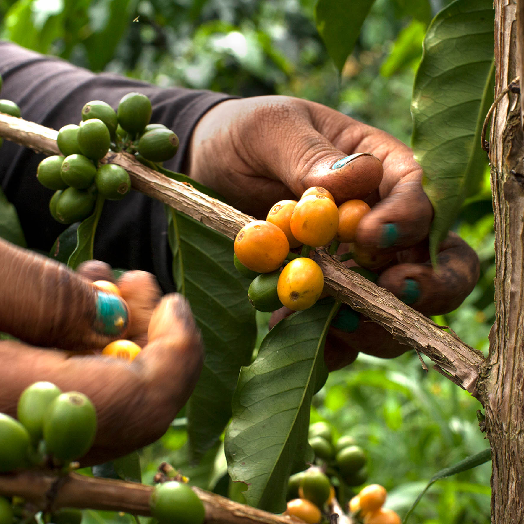 Colombian Exotic Coffee sustainability_2